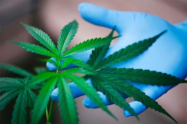 planta de cannabis medicinal