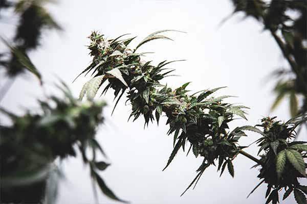 cannabis cáñamo y marihuana